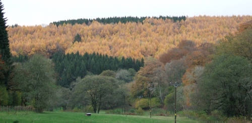 larch in the Grwyne Fawr